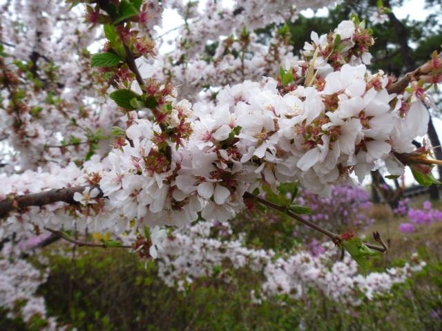 Цветение сакуры и не только в круизе Sapphire Princess 10-24 апреля 2015