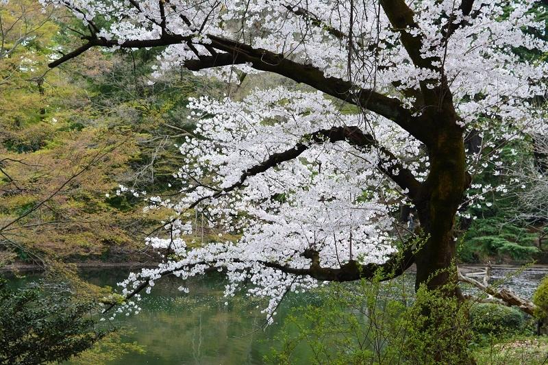 Непредсказуемая сакура, 2 недели в апреле.