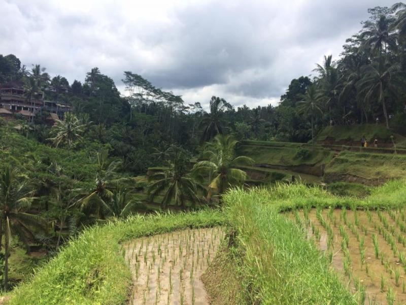 Бали, райский - и нерайский. Об Убуде, террасах и циветтах