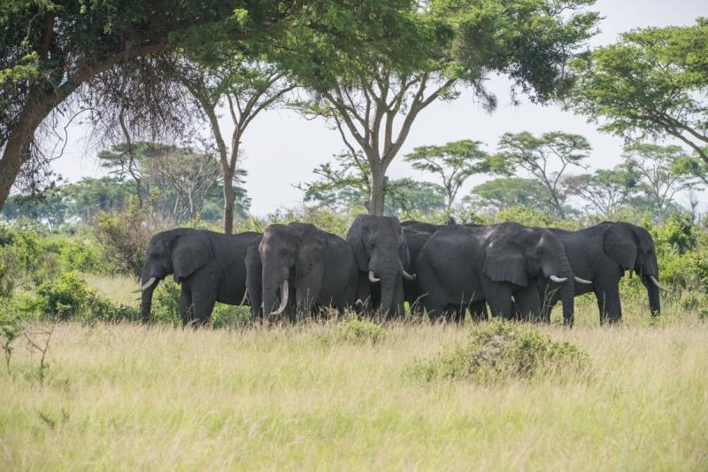 Гориллы в Уганде -октябрь 2017 г