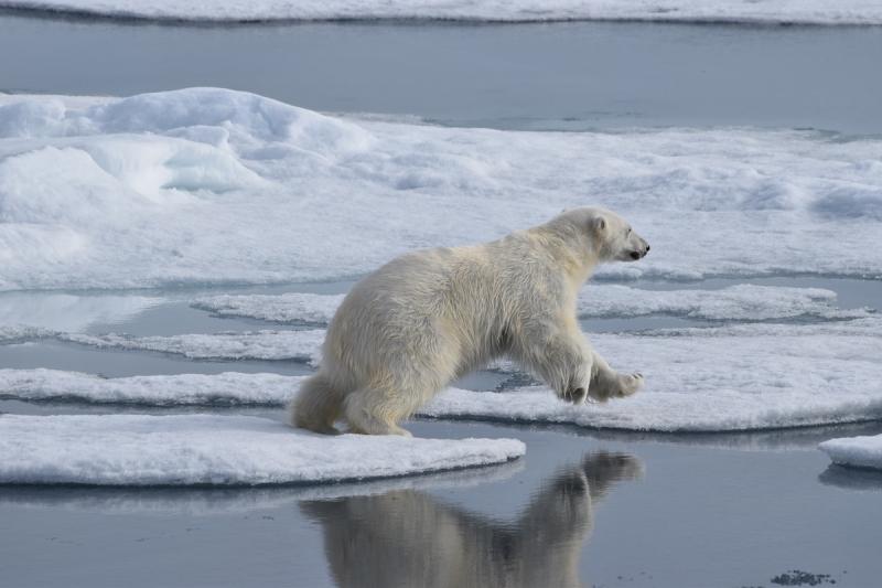 Шпицберген. Круиз. Белые медведи.
