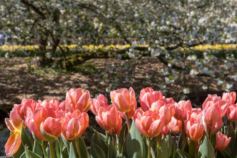 Тюльпановая Голландия, апрель 2018г.