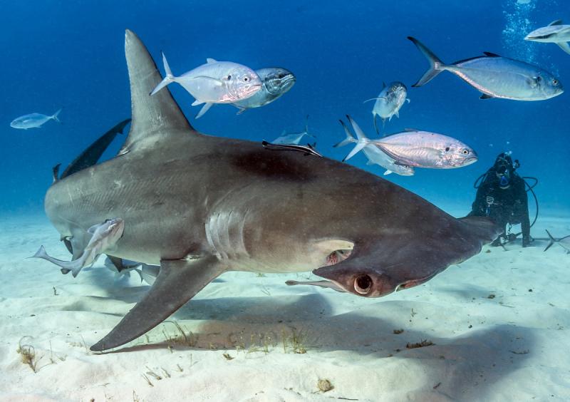 хотя акулы всех видов фото с названиями опасны