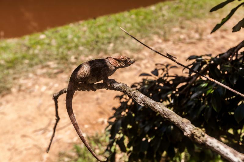 Мадагаскар. Полидактелия.