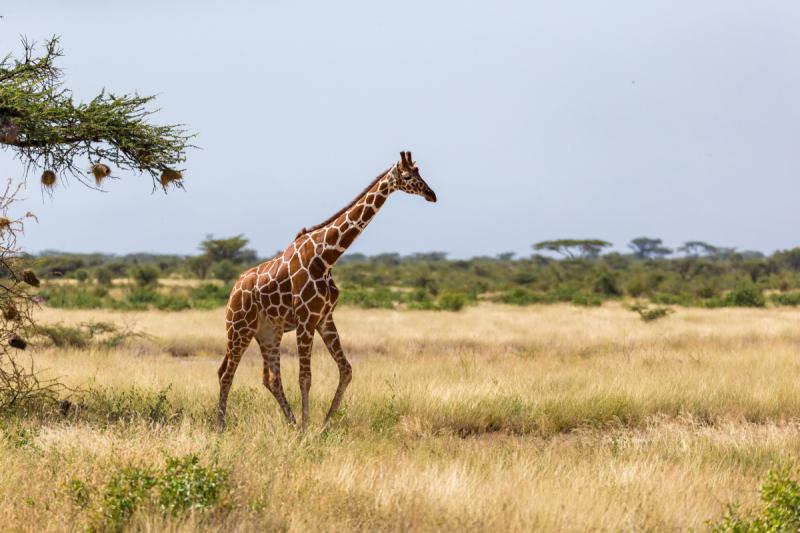 Приключения аборигенов в Кении