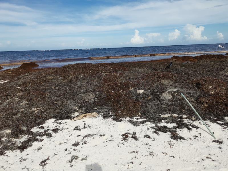 Водоросли на пляжах ривьеры Майя (Юкатан) от Канкуна и до конца