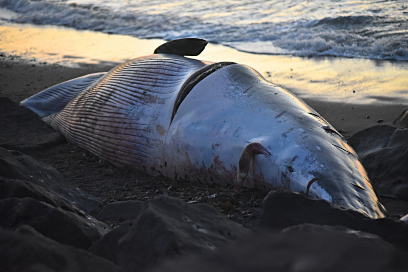 Недалеко от центра Рейкьявика- на берег выбросило кита( Октябрь 2021 год.)