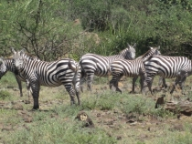 Как мы в Африку ходили. И лев не съест, и бегемот не затопчет.  ч.1 Кения.  конец 2011 г.