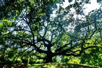 11 16-47 oak of witches.jpg