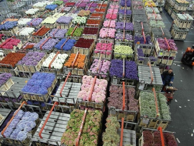 Цветов оптом, как купить цветы на аукционе в голландии
