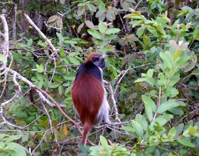 Рыжие обезьяны на Занзибаре