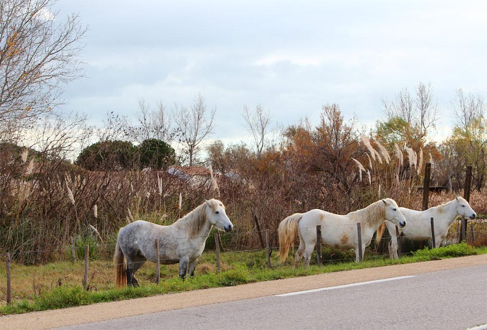 Белые лошади в парке Камарг
