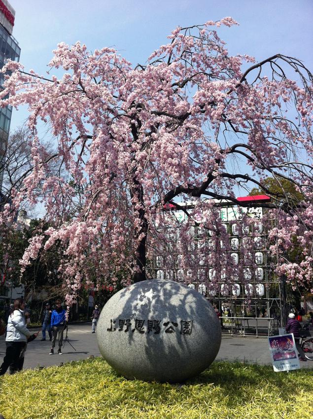 Япония цветение сакуры