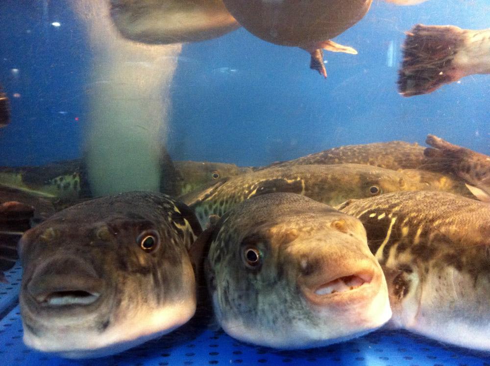 Рыба Фугу в Японии