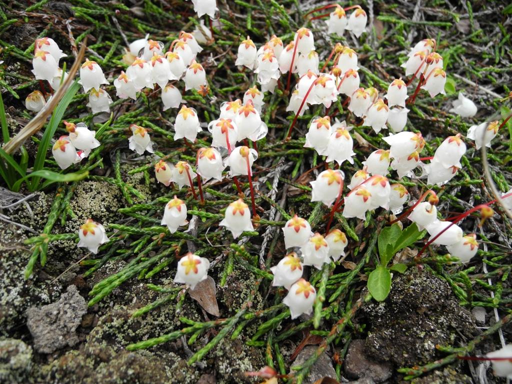 Цветы похожие на ландыши