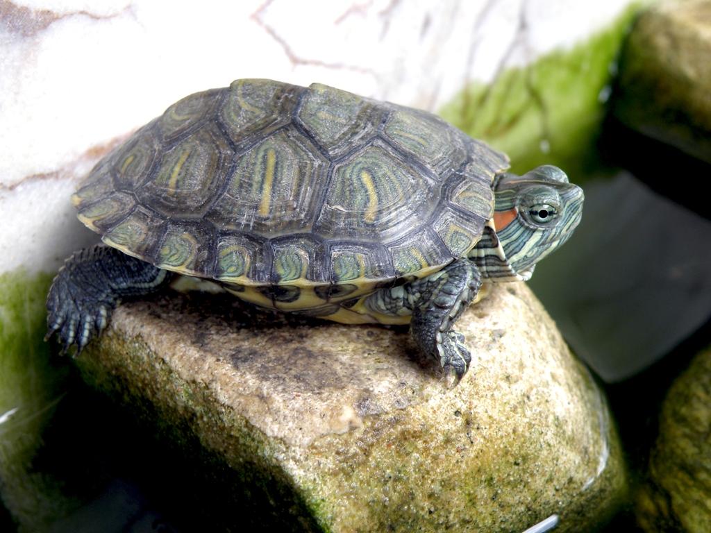Картинка черепаха водная