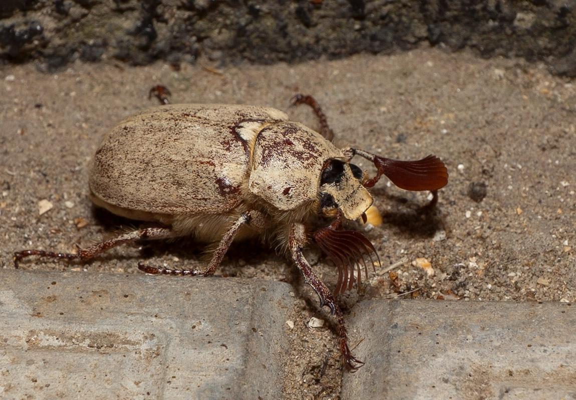 Июньский жук. (Азов) фото Shoushou • Форум Винского