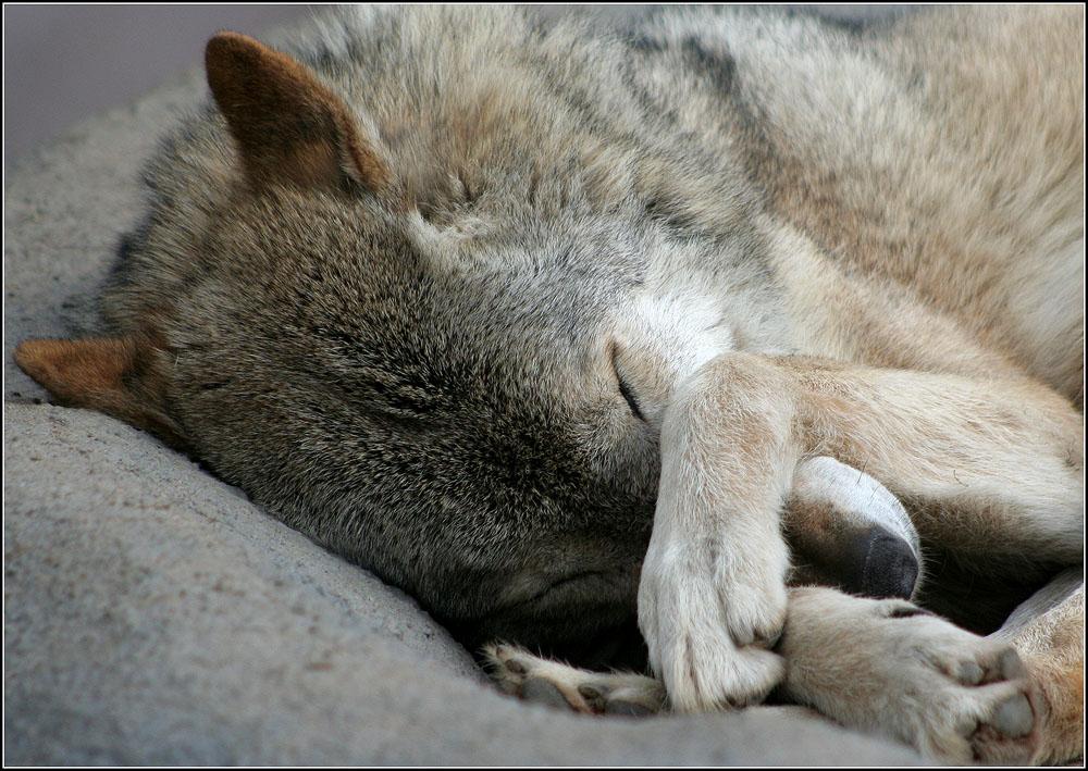 невероятнее сонный волк картинки учетом