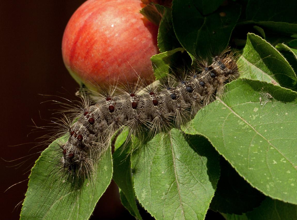 картинка гусеницы которая ест яблоко