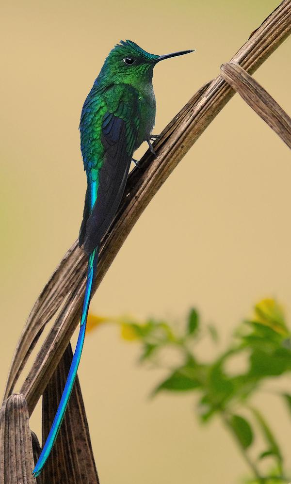 картинки птиц с длинным хвостом