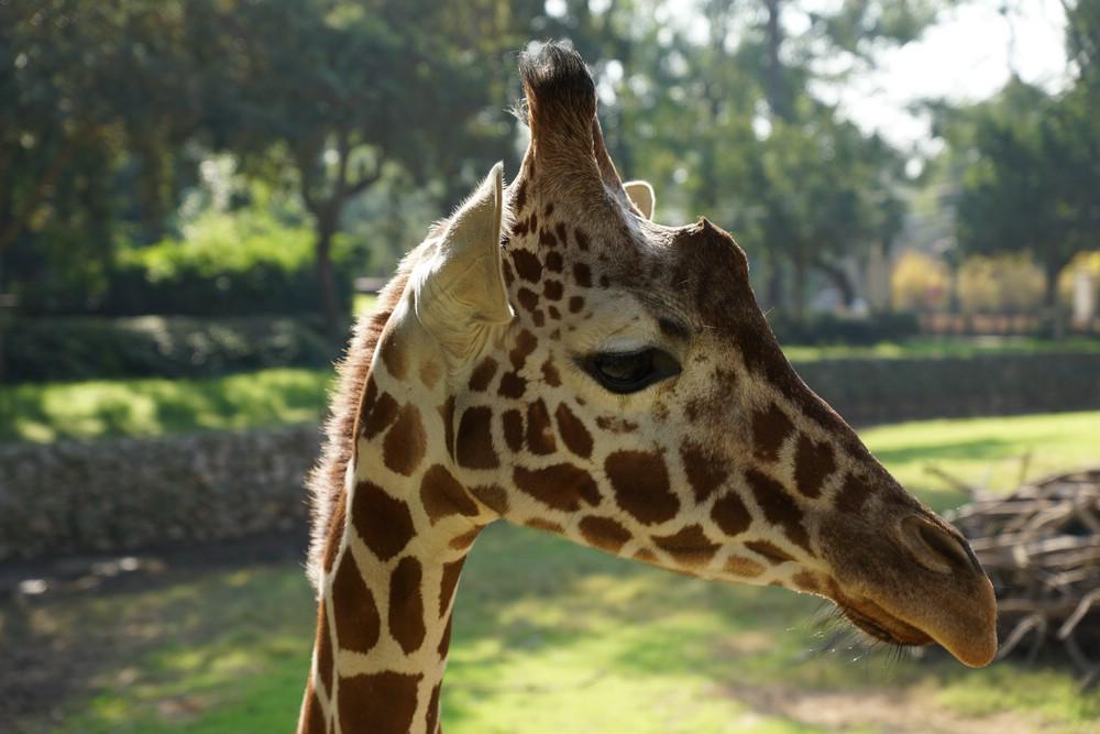 отечественная жирафы-мои друзья картинки новые