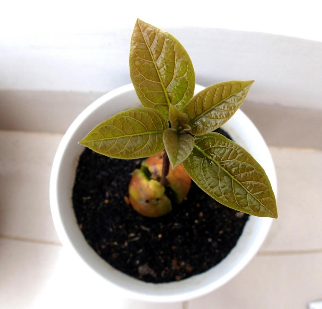 Выращивание лонган из косточки в домашних условиях 215